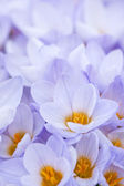 Abundant crocus blossoms — Stock Photo