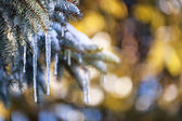 Icicles on fir tree in winter — Stockfoto