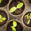 Stock Photo: Seedlings growing in peat moss pots