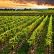 Vineyard at sunset — Stockfoto