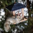 Stock Photo: Squirrel stealing from bird feeder