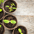 Seedlings growing in peat moss pots — Stock Photo