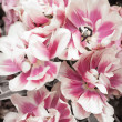 Pink and white tulips — Stock Photo