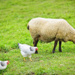 Sheep and chickens grazing on farm — Stock Photo