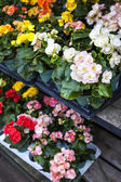 Flowers for sale in nursery — Stock Photo