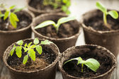 Seedlings growing in peat moss pots — Stock Photo