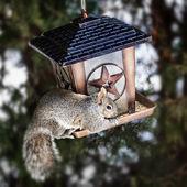 Squirrel stealing from bird feeder — Stock Photo