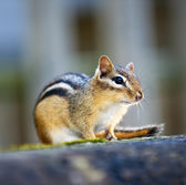 Chipmunk sitting on log — Stock Photo