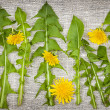 Dandelion greens and flowers — Stock Photo