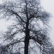 Stock Photo: Winter tree in fog