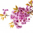 Stock Photo: Branch with cherry blossoms