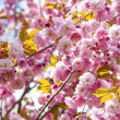 Cherry blossoms on spring cherry tree branches — Stock Photo