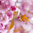 Stock Photo: Pink cherry blossoms in spring orchard
