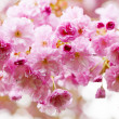 Cherry blossoms on spring cherry tree — Stock Photo