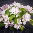 Pink apple blossoms — Stock Photo