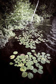 Lily pads at lake shore — Stock Photo