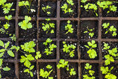 Seedlings growing in starter tray — Stock Photo