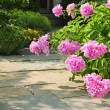 Garden with pink peonies — Stock Photo