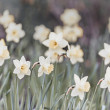 Daffodils — Stock Photo #39364427