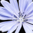 Stock Photo: Chicory flower macro