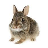 婴儿兔子兔 — 图库照片