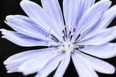 Chicory flower macro — Stock Photo