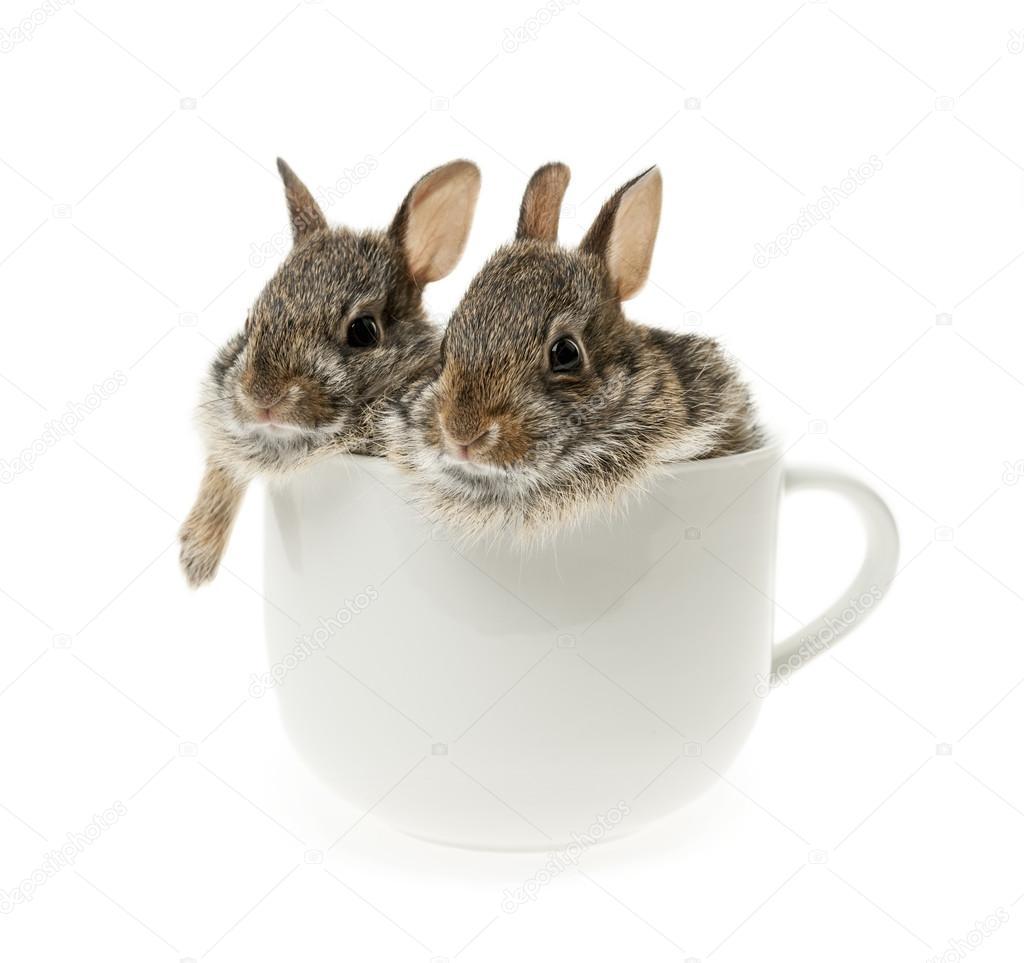 Американские кролики