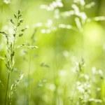 June green grass flowering — Stock Photo #43172423