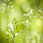 June green grass flowering — Stock Photo #43172445