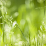 June green grass flowering — Stock Photo #43172469