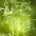 June green grass flowering — Stock Photo #43172471