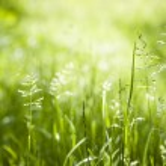 June green grass flowering — Stock Photo #43172523