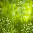 June green grass flowering — Stock Photo