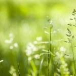 June green grass flowering — Stock Photo #43172625