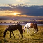 Horses grazing at sunset — Stock Photo