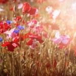 Постер, плакат: Poppies in sunshine