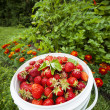 Fresh strawberries in garden — Stock Photo