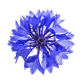 Blue cornflower flower — Stock Photo