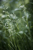 Evening grass flowering — Stock Photo