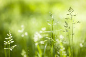 June green grass flowering — Foto Stock