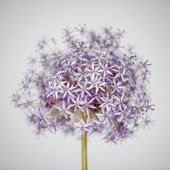 Flowering onion flower — Foto Stock