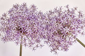 Flowering onions — Stock Photo