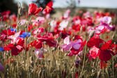Poppy field — Foto Stock