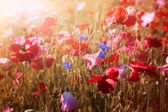 Poppies in sunshine — Foto Stock