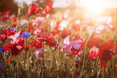Poppies in sunshine — Stock Photo