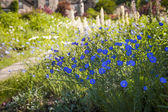 Flax flowers in summer garden — Stock Photo
