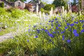 Lin fleurs dans le jardin d'été — Photo