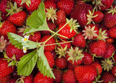 Fresh strawberries in garden — Stock Photo