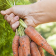 Fresh carrots from garden — Stock Photo #45304153