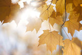 Backlit fall maple leaves in sunshine — Stock Photo